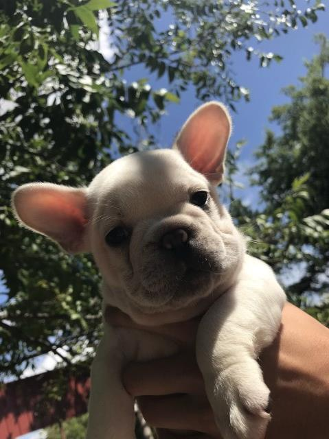 French Bulldog puppy dog for sale in Midlothian, Texas