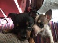 Chihuahua male puppies Chihuahua for sale/adoption