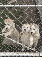 Beautiful Siberian husky puppies  for sale Siberian Husky for sale/adoption