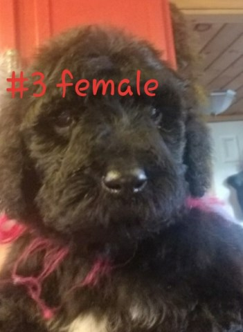 Poodle Standard Puppy Dog For Sale In Indinapolis Indiana