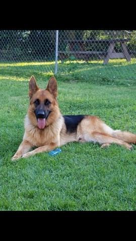 German Shepherd Dog Puppy Dog For Sale In Morganfield Kentucky