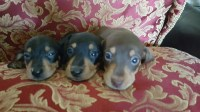 Dachshund Dog Puppies Dachshund for sale/adoption