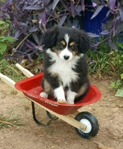 Australian Shepherd Dog puppy dog for sale in York, South