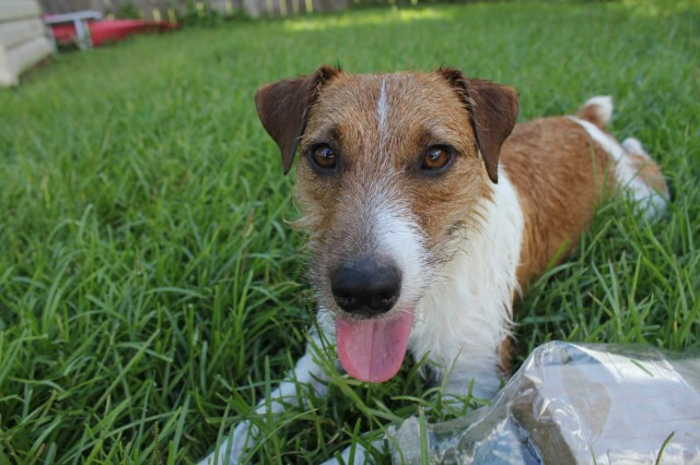 Jack Russell Terrier puppy for sale + 54104