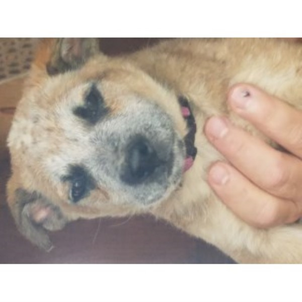 Shrek Queensland Red Heeler Australian Cattle Dog for sale/adoption