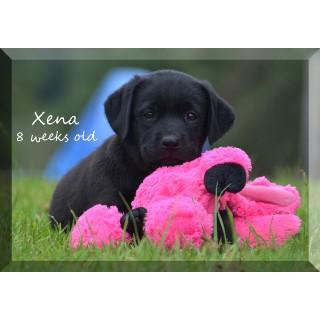 AKC Black Labrador Male Puppy
