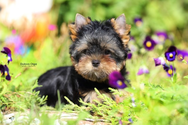 Yorkshire Terrier puppy for sale + 58635