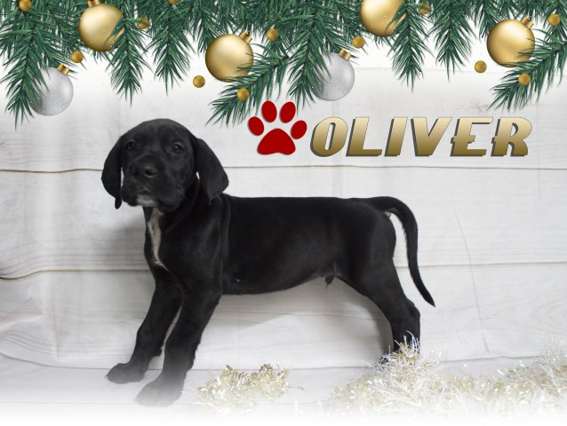 Great Dane Puppy Dog For Sale In Grabill Indiana
