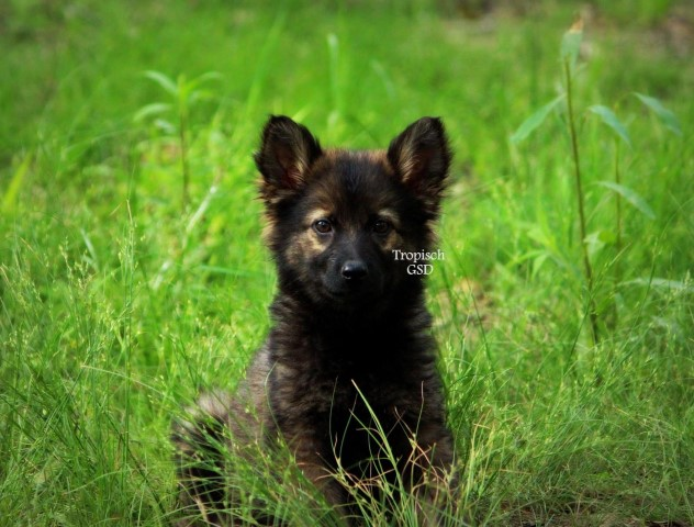 Buy Long Haired German Shepherd Puppies For Sale Near Me In Western Australia