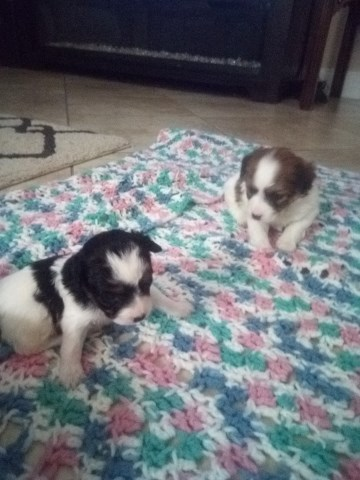 Jack Russell Terrier Puppy Dog For Sale In Valrico Florida
