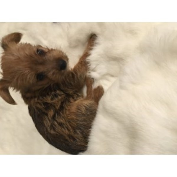 Adorable Yorkie Jack Mixed!