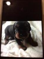 Gordon Setter Dogs and Puppies for Adoption