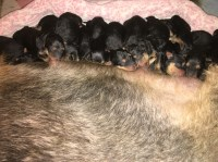 AIREDALE TERRIER PUPPIES Airedale Terrier for sale/adoption