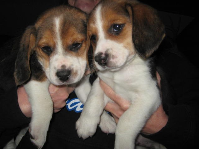 Beagle puppy for sale + 53587