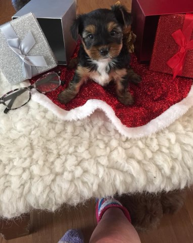 Yorkshire Terrier puppy for sale + 54247