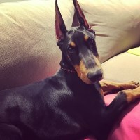 Doberman Pinscher Puppies And Dogs For Sale In Maryland