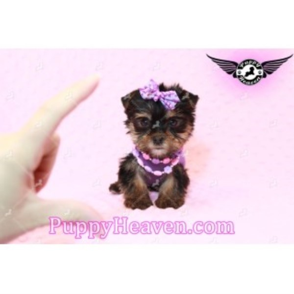 Teacup & Toy Puppies For Sale By Breeder