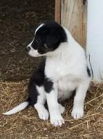 OREO Border Collie Cross Border Collie for sale/adoption