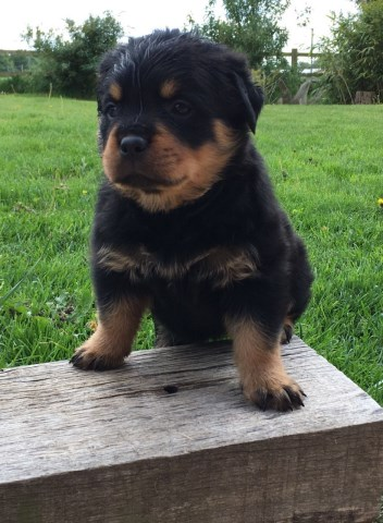 Rottweiler puppy for sale + 49156