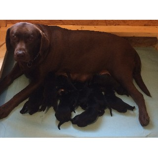 AKC English Labrador Puppies *ready For Christmas*