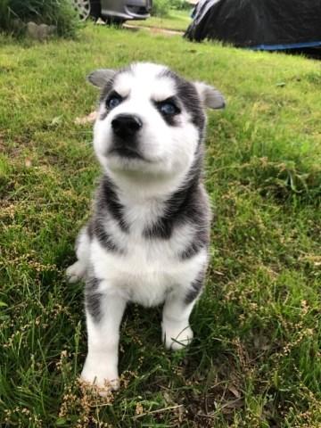 Siberian Husky puppy dog for sale in Nigeria