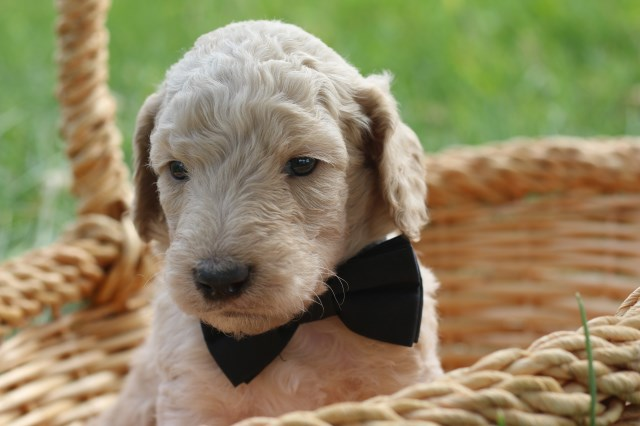Poodle Standard Puppy Dog For Sale In Nampa Idaho
