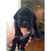 AKC Lab Puppies Available Labrador Retriever for sale/adoption