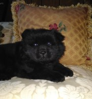 Chow Chow Dogs and Puppies for Adoption
