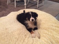 Border Collie Dogs and Puppies for Adoption