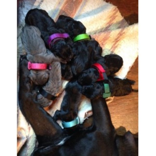 Cane Corso Coming Soon! Cane Corso for sale/adoption