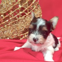 Biewer (rare breed) girl Puppy Sparkle Yorkshire Terrier for sale/adoption