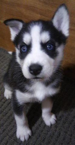 Siberian Husky Puppy Dog For Sale In Cedar Hill Mo Missouri