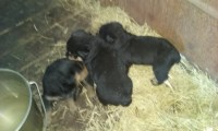 Akc German rottweilers Rottweiler for sale/adoption