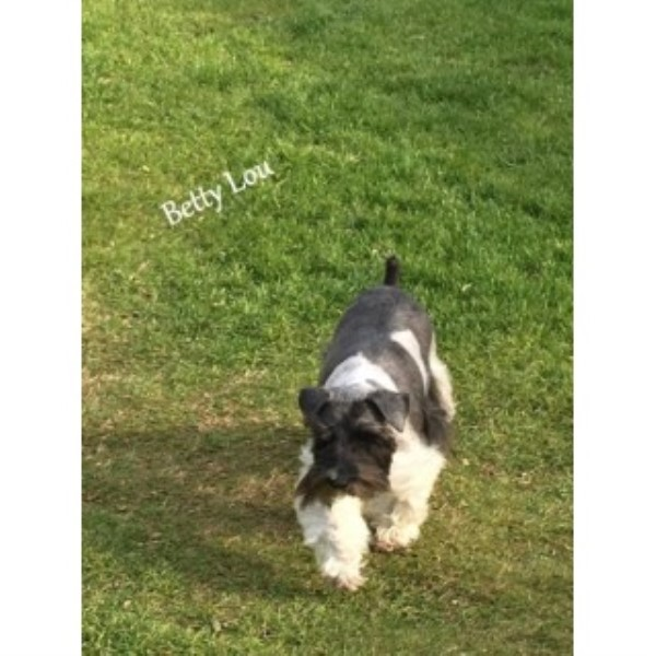 AKC Miniature Schnauzer Adult - Betty Lou