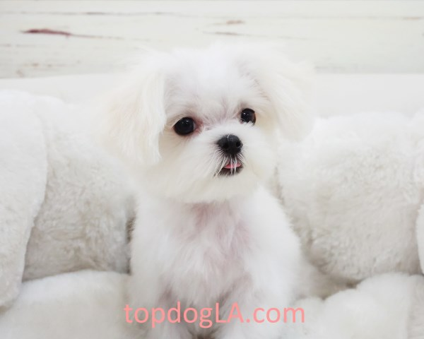 Maltese puppy for sale + 53354