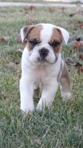 English Bulldog puppy for sale + 48210