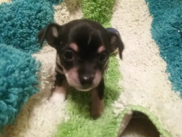 Chihuahua Puppy Dog For Sale In Carthage Texas