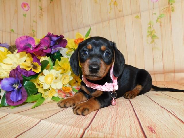 Dachshund puppy dog for sale in Nigeria