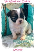 Shi Chi Teddy Bear Puppies for Sale Registered Chihuahua for sale/adoption