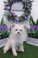 Morkie Dogs and Puppies for Adoption