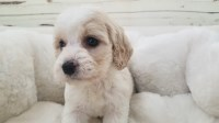 Cockapoo Dogs and Puppies for Adoption