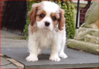 AKC CHAMPION SIRED Blenheim MALE Cavalier King Charles Spaniel for sale/adoption