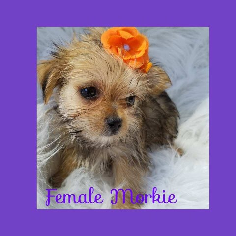 Morkie puppy dog for sale in london ky, Kentucky