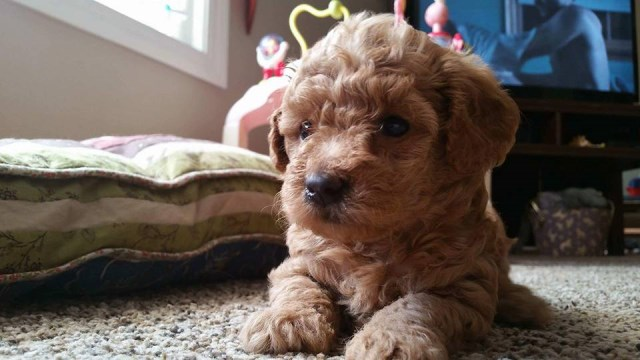 Poodle Toy Puppy Dog For Sale In Richmond Virginia