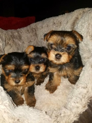 Yorkshire Terrier Puppy Dog For Sale In Houston Texas