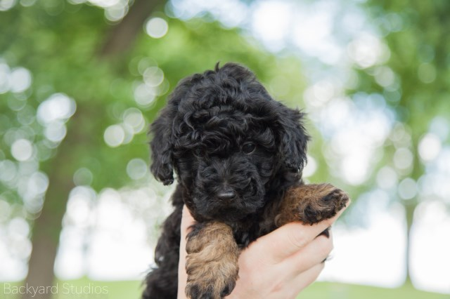 Poodle Toy Puppy Dog For Sale In Evergreen Park Illinois