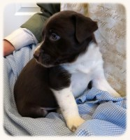 "Beautiful ""Started"" McNab Border Collie Puppy Border Collie for sale/adoption"