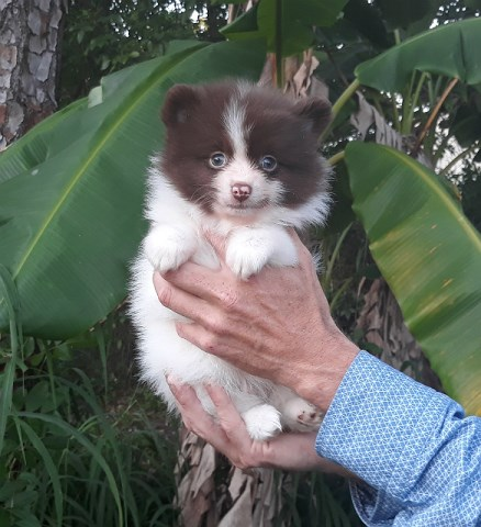 Parti-colored tiny pomeranian   puppy   male ( white with chocolate), Teddy  Bear