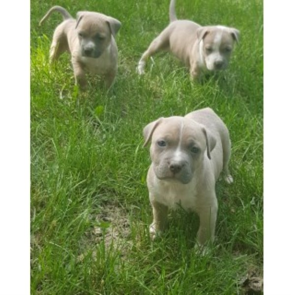 American Pit Bull Terrier puppy dog for sale in Coon Rapids