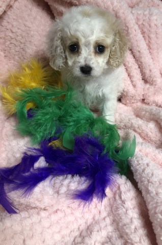 Cockapoo puppy for sale + 55378
